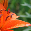 Stock Photo: lily closeup
