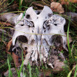 Cow scull — Stock Photo #5199969