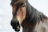 Cavalo de projecto de Brabante — Fotografia Stock