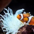 Stock Photo: Nemo