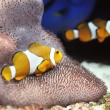 Clownfish — Stock Photo #4593384
