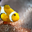 Stock Photo: Clownfish