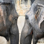 Elephant head — Stock Photo #4593564