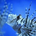 Lionfish — Stock Photo #4593901