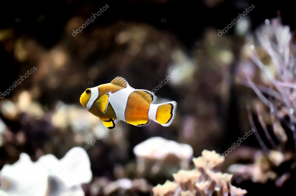 The Marine Fish - Ocellaris clownfish — Stock Photo #4593343