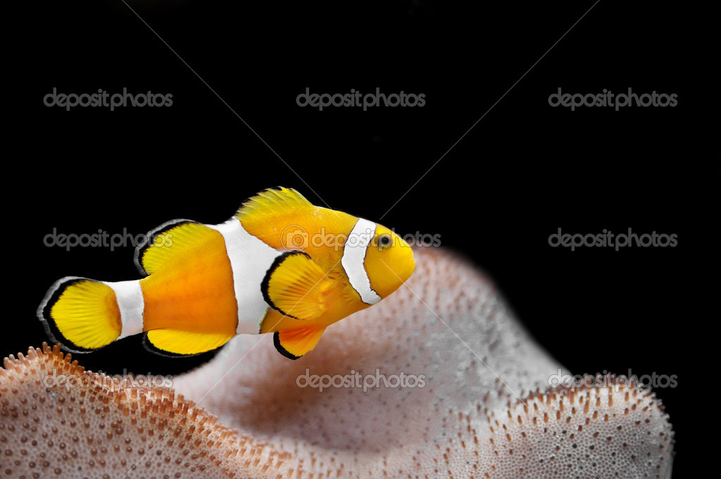 The Marine Fish - Ocellaris clownfish — Stock Photo #4593934