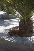 Chilenische hund schlafen unter einer palme — Stockfoto