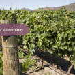 Stock Photo: Vineyard - Chardonnay
