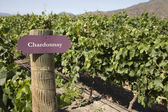 Vineyard - Chardonnay — Stock Photo