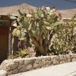 Foto Stock: Big cactus in front of house