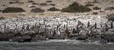 Pinguïn humboldt kolonie — Stockfoto