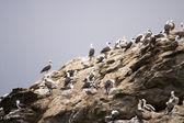 Colonie d'oiseaux qui nichent sur le rocher — Photo