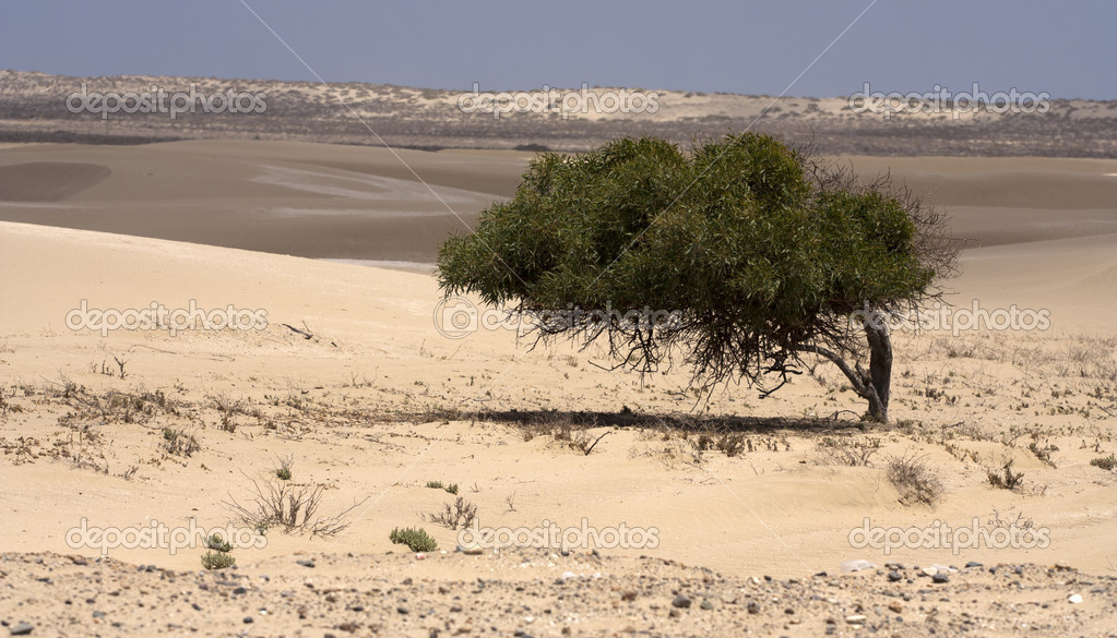 Lonely tree in the desert - contrast of green leaves and the desert  Stock Photo #4904056