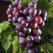 Red grape — Stock Photo