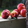 Stock Photo: Ripe nectarines near to a tree