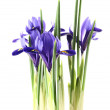 Iris reticulata — Stock Photo #4847585