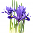 Iris reticulata — Stock Photo #4847591