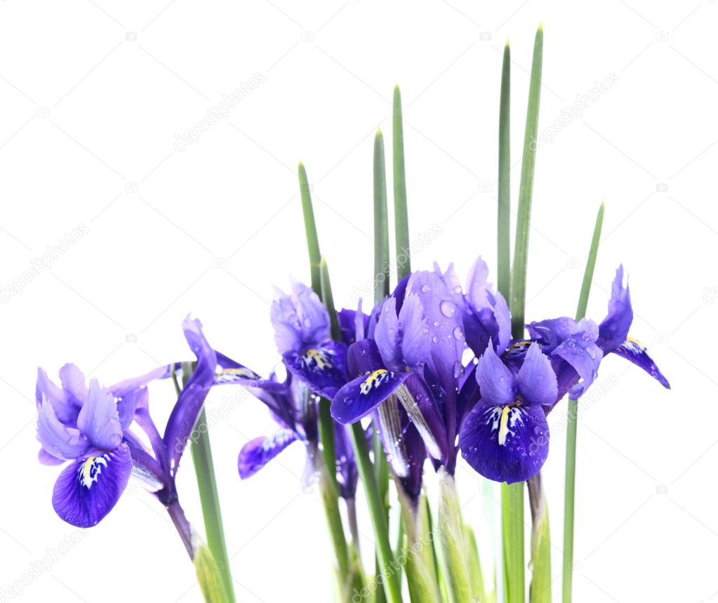 Iris reticulata Harmony on a white background. — Stock Photo #4854514