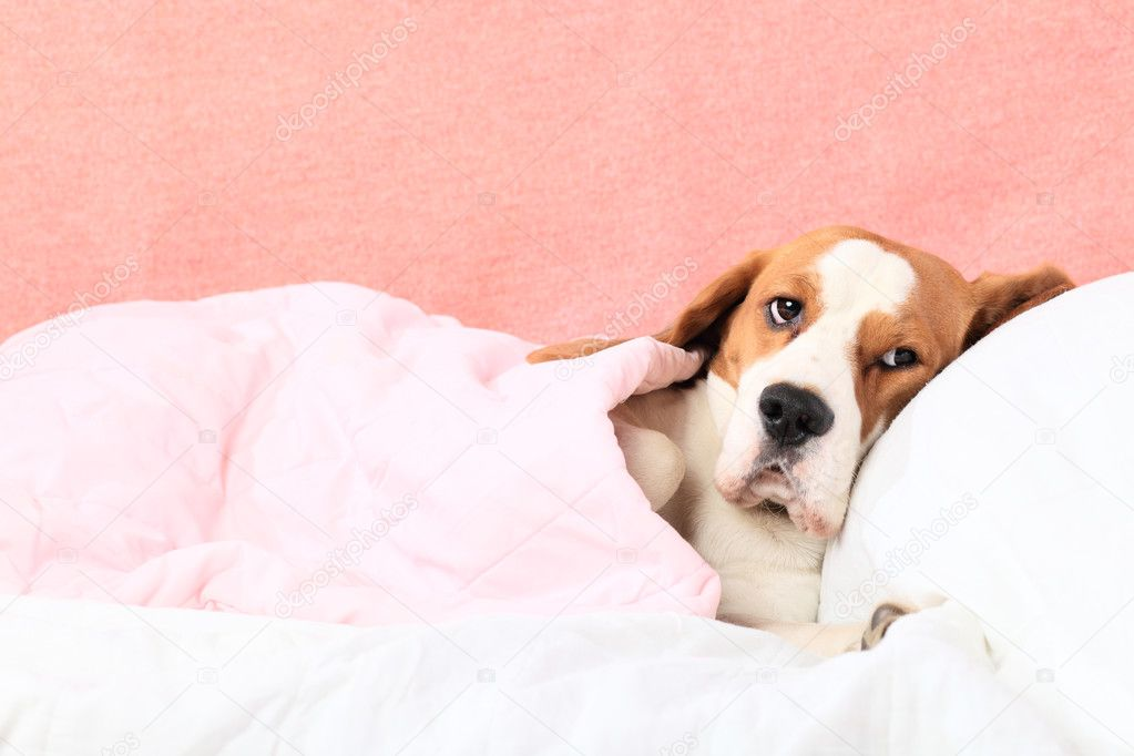 Sick dog under a blanket. — Stock Photo #5212954