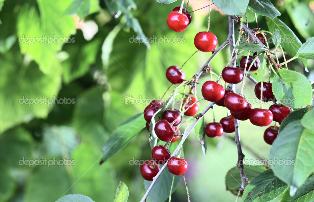 Ripe cherries on a tree — Stock Photo #5241379