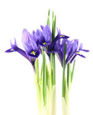 Iris reticulata — Fotografia Stock