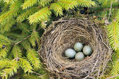Detail of blackbird eggs in nest — Stock Photo