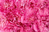 Peony flower heads - background — Stock Photo