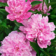 Bouquet of fresh pink peonies — Stockfoto