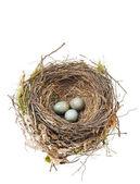 黑鸟卵在巢上白色隔离的详细信息 — 图库照片