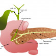 Pancreas, duodenum and gall bladder — Stock Vector