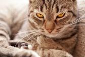 Looking cat (felis catus) — Stock Photo