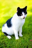 Domestic cat - felis catus — Stock Photo