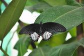 A black butterfly — Stock fotografie