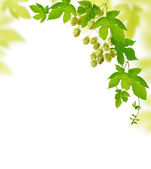 Hop plant border — Stock Photo