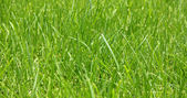 Background -fresh green grass — Stock Photo