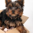 Puppy Yorkshire Terrier — Stock Photo #4637949