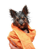 Puppy Yorkshire Terrier after bath — Stock Photo