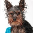 Wet Yorkshire terrier — Stock Photo