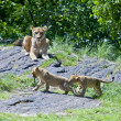 Lion cubs at play. - Stock Photo