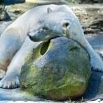 Sleeping Polar Bear — Stock Photo #5075312