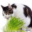 Stock Photo: Pet cat enjoys eating some fresh grass.