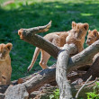 Three cute Lion Cubs — Stock Photo