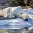 Stock Photo: Sleeping polar bear.