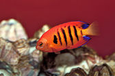 The Flame Angel Fish. — Stock Photo