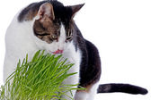 A pet cat enjoys eating some fresh grass. — Foto de Stock