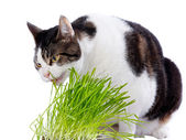 A pet cat enjoys eating some fresh grass. — Stock Photo