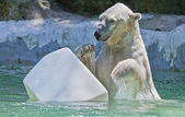Polar bear plays with a plastic piece of ice. — Stock Photo