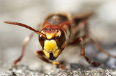 Mandibles of the giant hornet — Stock Photo