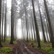 Misty coniferous forest — Stock Photo