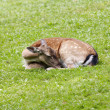 Sleeping doe — Stock Photo